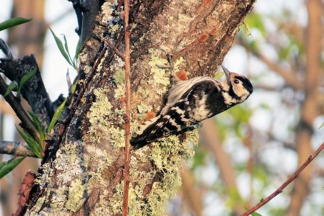 ©Francisco Barroqueiro - Lesser Spotted Woodpecker