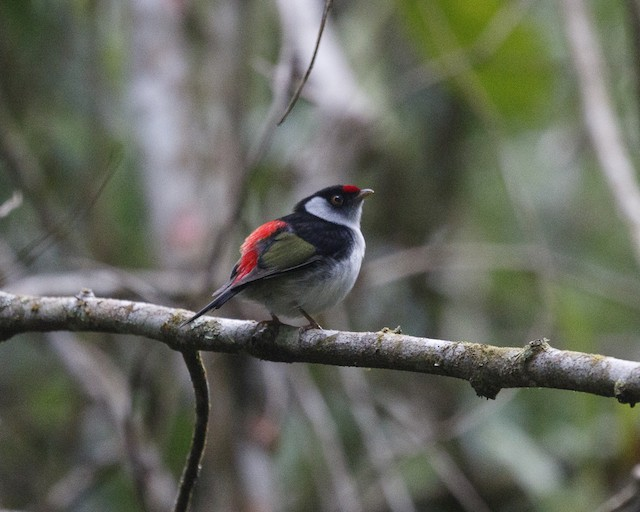 Pin-tailed Manakin