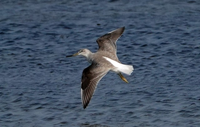 Dorsall view in flight (basic plumage).