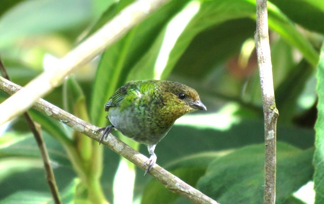 Silvery Tanager