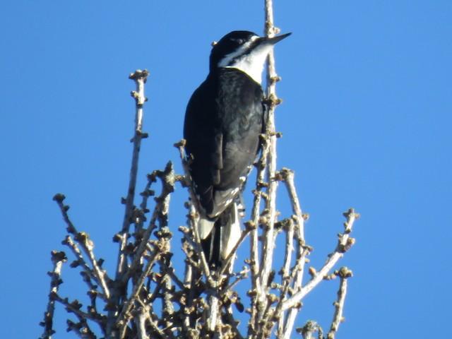 ©Kenneth Bishop - Black-backed Woodpecker