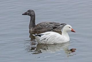 Snow Goose, ML283659611