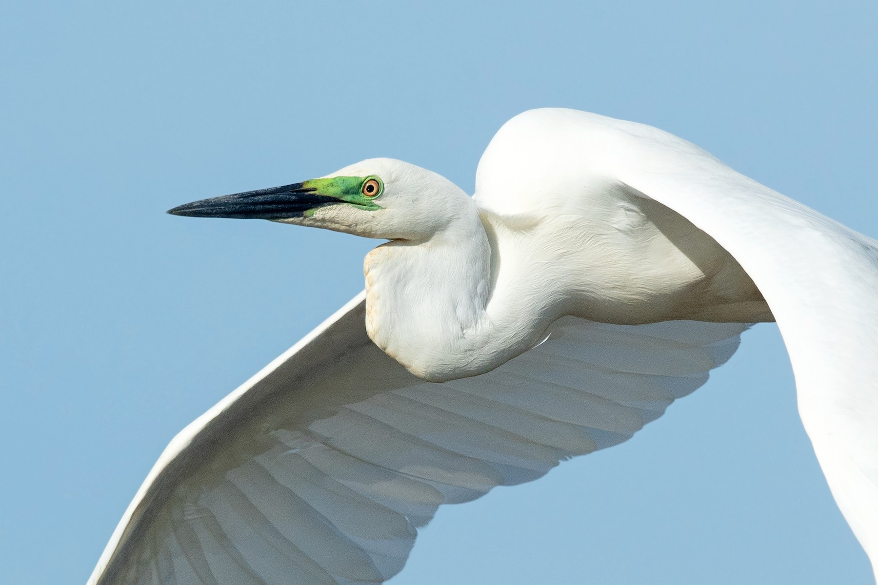 Great Egret (Australasian) - David Irving
