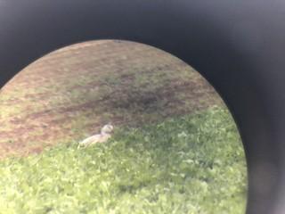 Snow Goose, ML284344911
