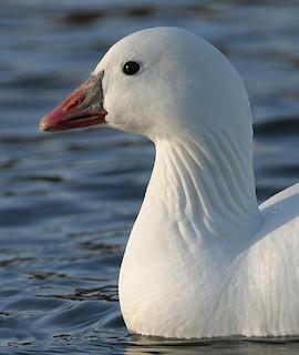 Ross's Goose, ML284779341