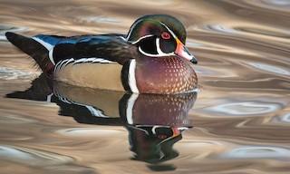 - Wood Duck