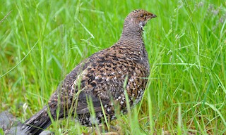 - Sooty Grouse