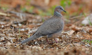- Spotted Dove
