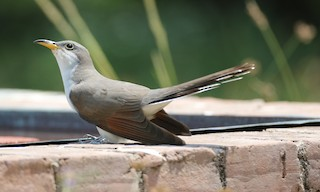 - Yellow-billed Cuckoo