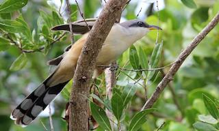 - Mangrove Cuckoo