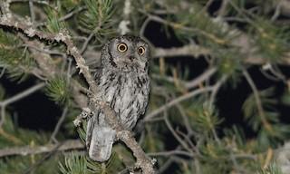 - Western Screech-Owl