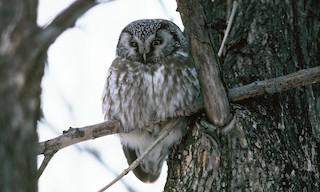 - Boreal Owl