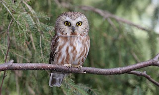 - Northern Saw-whet Owl