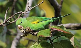 - Yellow-chevroned Parakeet