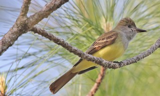 - Great Crested Flycatcher