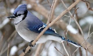 - Blue Jay