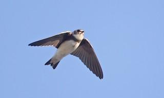 - Tree Swallow