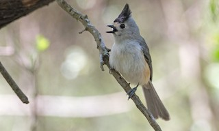 - Black-crested Titmouse