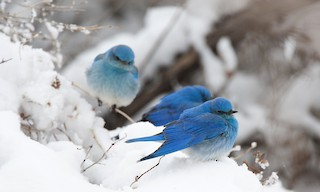 - Mountain Bluebird