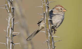 - Rufous-winged Sparrow