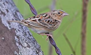 - Grasshopper Sparrow