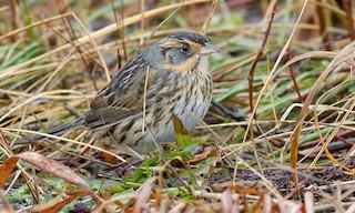 - Saltmarsh Sparrow