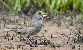 - Seaside Sparrow (Atlantic)