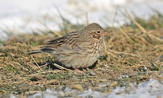 - Vesper Sparrow