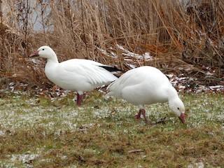 Snow Goose, ML285002751