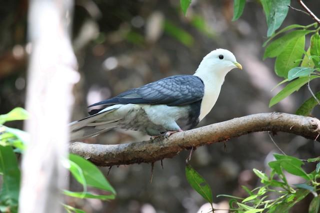 Black-banded Fruit-Dove