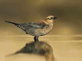 - Rusty Blackbird
