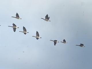 Cackling Goose, ML285681841