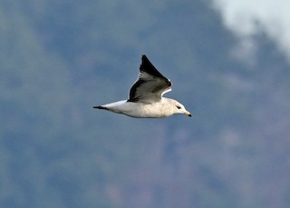 Ring-billed Gull, ML285734671