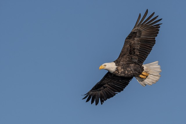 Bald Eagle ML285750511