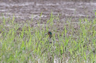 Green-winged Teal, ML286153931