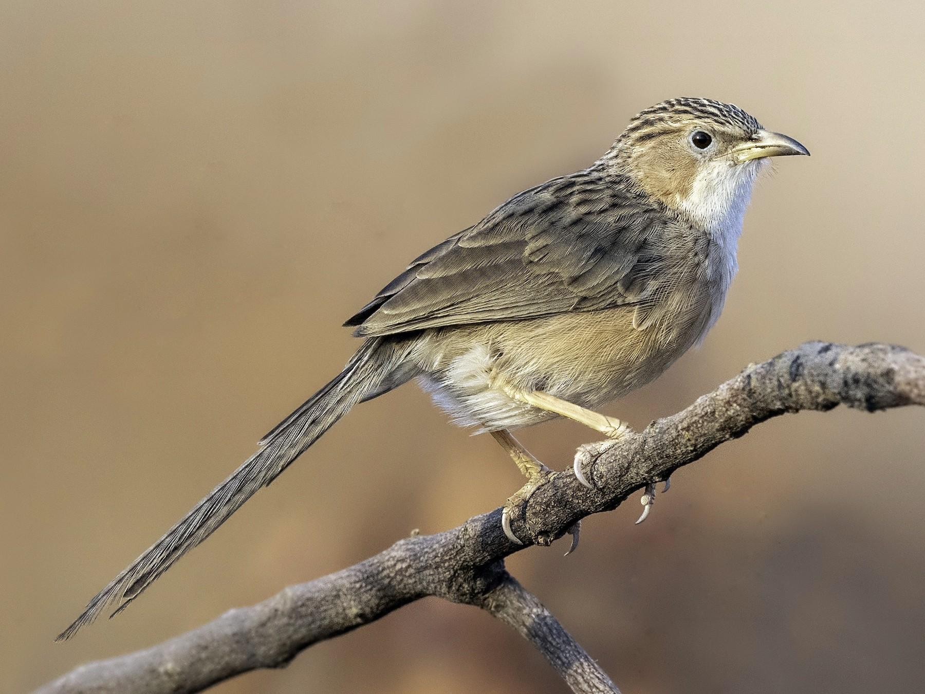 Common Babbler - Sriram Reddy