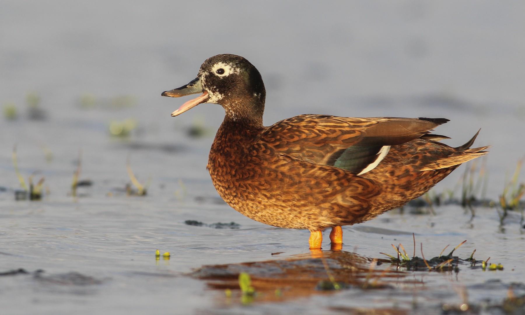 Laysan Duck - Cameron Rutt