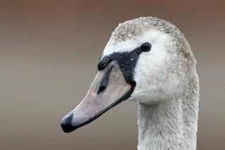 Mute Swan, ML286358611