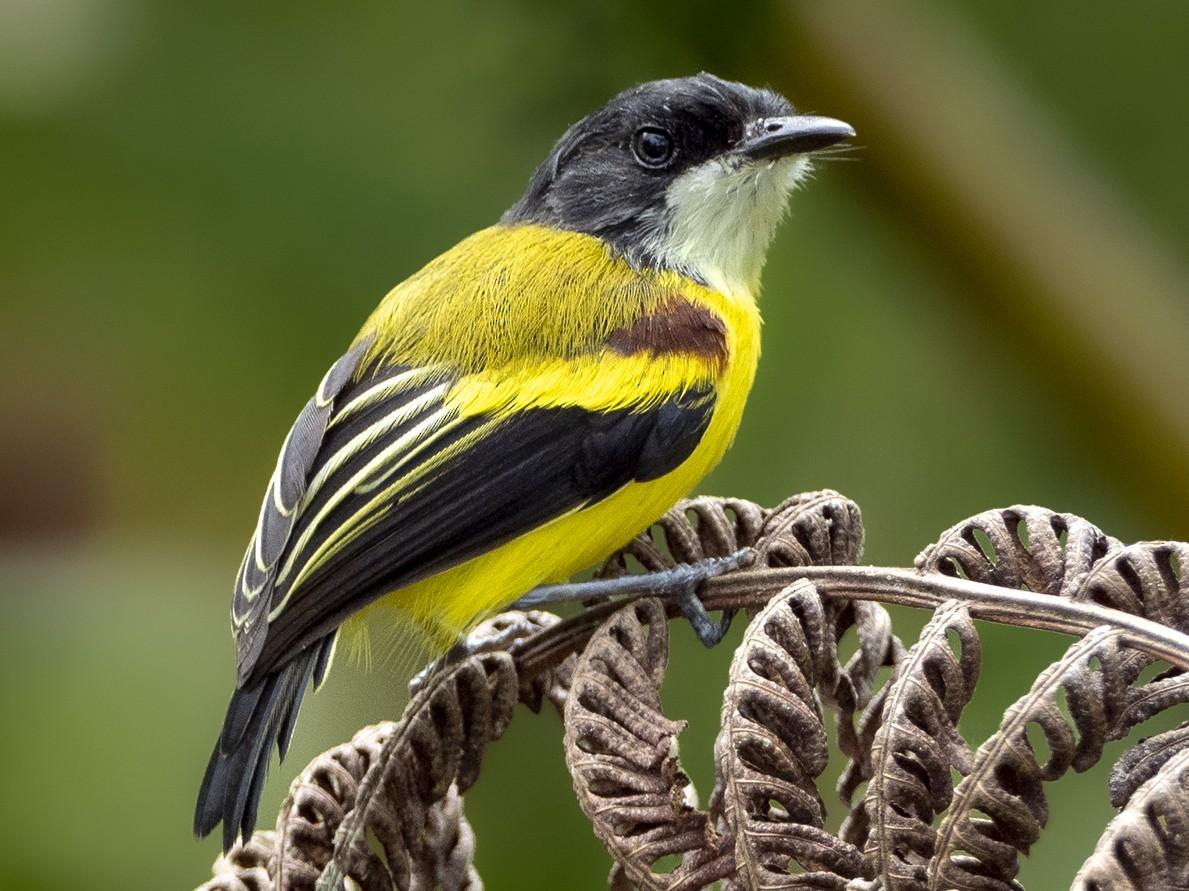 Golden-winged Tody-Flycatcher - Andres Vasquez Noboa - Tropical Birding Tours