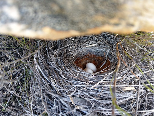 A rare example of a tidy Cape Rockjumper's nest.