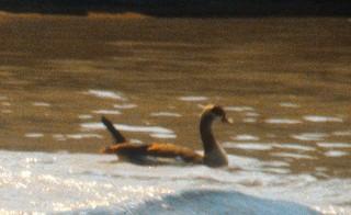 Egyptian Goose, ML287002411