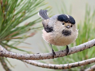 - Silver-throated Tit