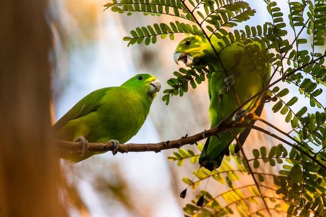 ©Vinz Pascua - Green Racquet-tail