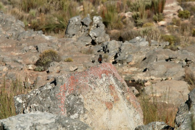 Cape Rockjumper exposed on a boulder, keeping a vigilant eye on the area.