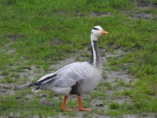 Bar-headed Goose, ML287422351