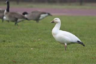 Snow Goose, ML287510191