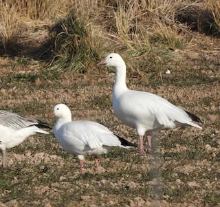 Ross's Goose, ML287535331