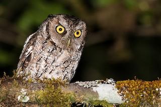 - Montane Forest Screech-Owl