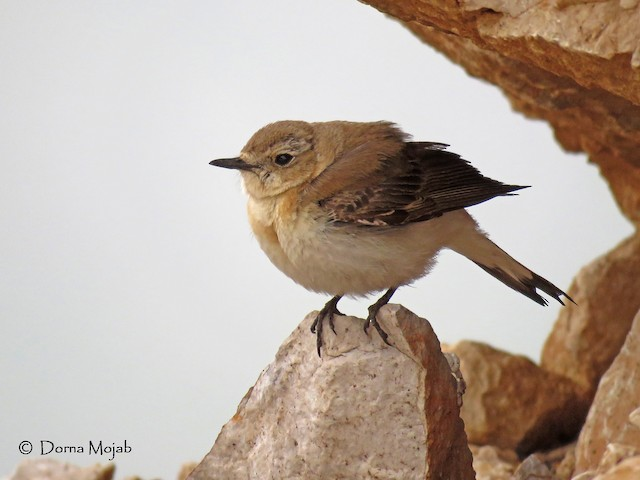 Kurdish Wheatear