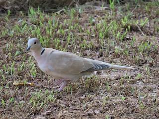 Eurasian Collared-Dove, ML287928391
